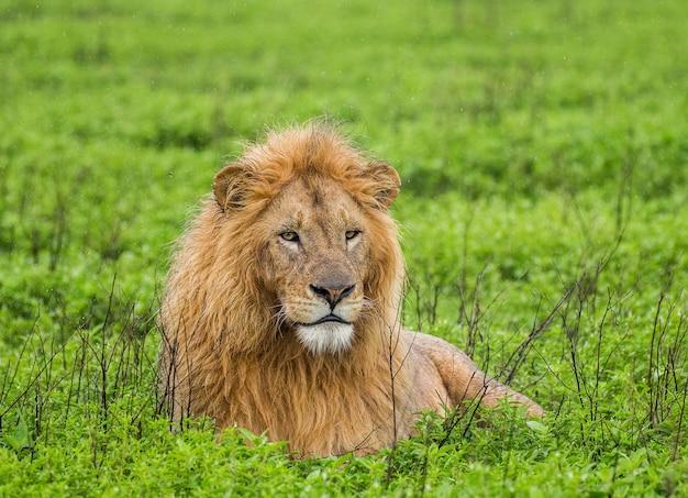 Grote leeuw liggend op het gras