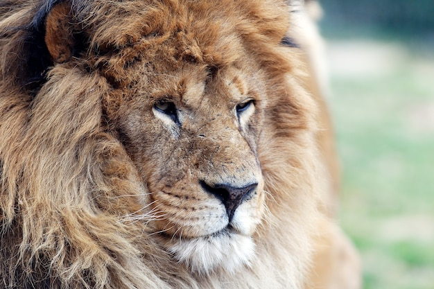 Grote leeuwenkop