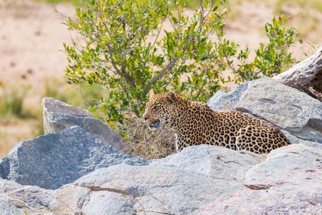 Grote luipaard in aanvallende positie klaar voor een hinderlaag tussen de rotsen en de struik. kruger nationaal park, zuid-afrika. detailopname.