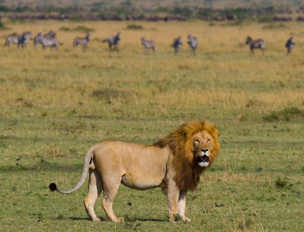 Grote mannelijke leeuw staat in de savanne. nationaal park. kenia. tanzania. masai mara. serengeti.