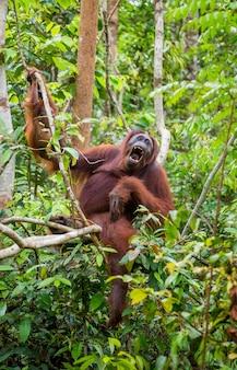 Grote mannelijke orang-oetan op een boom in het wild. indonesië. het eiland kalimantan (borneo).