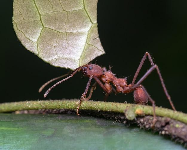 Grote mier die een stuk blad met zijn tang draagt