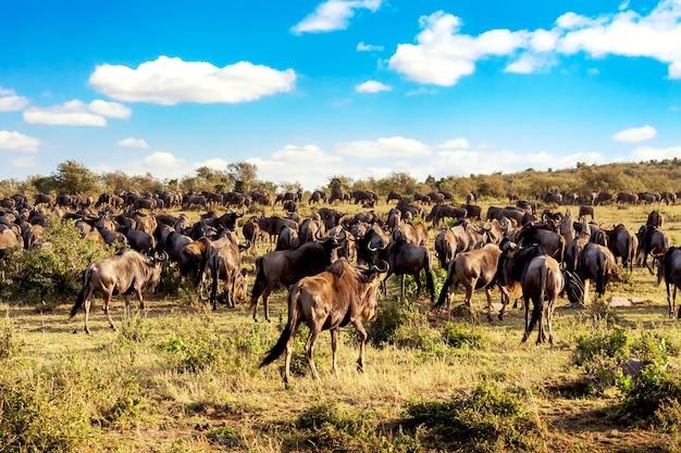 Grote migratie van gnoes die in de savanne rennen. masai mara nationaal park, kenia. safari in afrika.