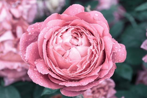 Grote mooie bloem met regendruppels op bloemblaadjes bloeiende pioen natuur achtergrond in vintage kleuren