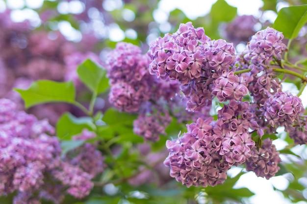 Grote mooie lila takken in de tuin