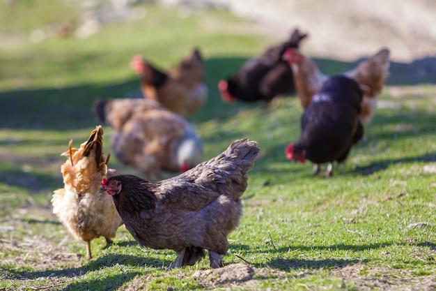 Grote mooie mooie roodbruine kippen die in openlucht in groene weide met vers gras op heldere zonnige dag voeden. landbouw van gevogelte, kippenvlees en eieren concept.