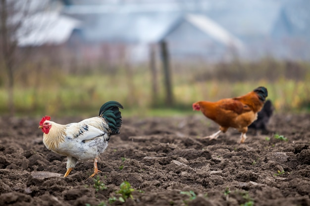Grote mooie mooie witte en zwarte haan en kippen die in openlucht op geploegd gebied op heldere zonnige dag op vage kleurrijke landelijke scène voeden. landbouw van gevogelte, kippenvlees en eierenconcept.