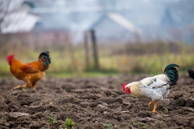 Grote mooie mooie witte en zwarte haan en kippen voeden buitenshuis in geploegd veld op heldere zonnige dag op onscherpe kleurrijke landelijke achtergrond. landbouw van gevogelte, kippenvlees en eieren concept.