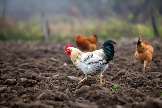 Grote mooie mooie witte en zwarte haan en twee kippen voeden buitenshuis in geploegd veld op heldere zonnige dag op wazig kleurrijke platteland. landbouw van gevogelte, kippenvlees en eieren concept.