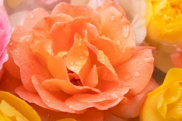 Grote mooie romige roos van de polka-variëteit in de ochtendmist met druppels op de bloembladen