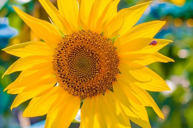 Grote mooie zonnebloemen buitenshuis. schilderachtig behang met een close-up van zonnebloem tegen groene achtergrond met bloemen