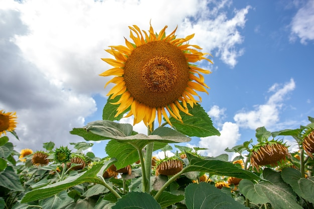 Grote mooie zonnebloemen natuurlijke achtergrond. zonnebloem bloeien.