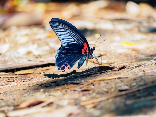 Grote mormoonse vlinder (papilio memnon agenor) met kleurrijke vleugels ter plaatse