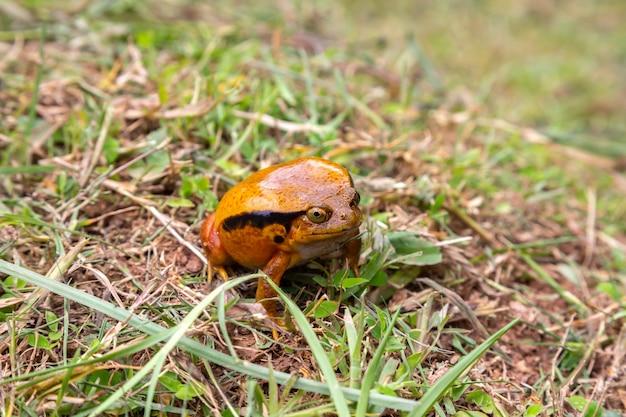 Grote oranje kikker in de natuur