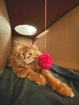 Grote oranje maine coon kat spelen met een bolletje wol in een kartonnen doos op een deken