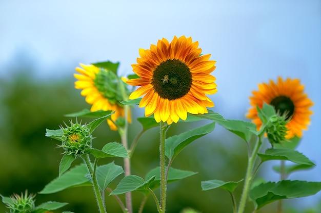 Grote oranje zonnebloemen op blauwe hemel