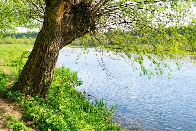 Grote oude boom aan de oever van de rivier
