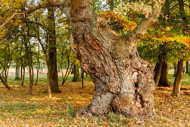 Grote oude eik in de herfstbos