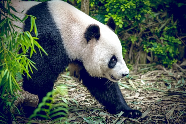 Grote panda
