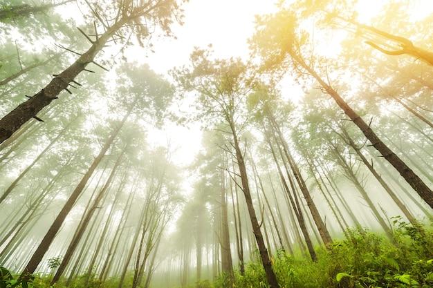Grote pijnboombomen, verheven boom op berg door dennenbos in de herfst en mist