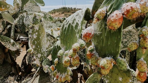 Grote plantencactus opuntia ficus-indica en stekelige peer besmet door een cochineale plaag in andalusië