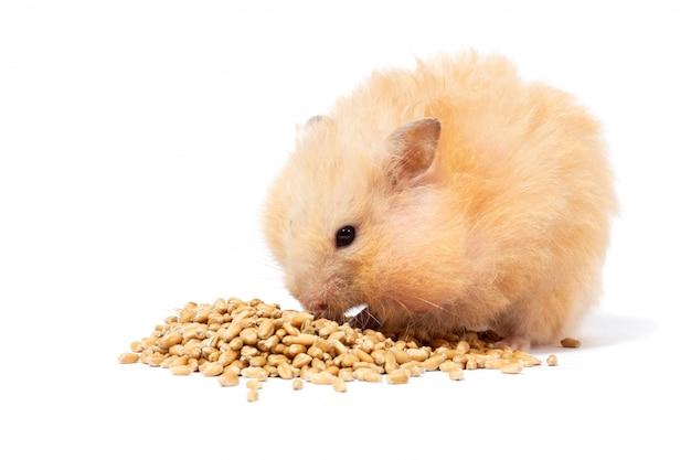 Grote pluizige rode hamster eet graan, isoleert