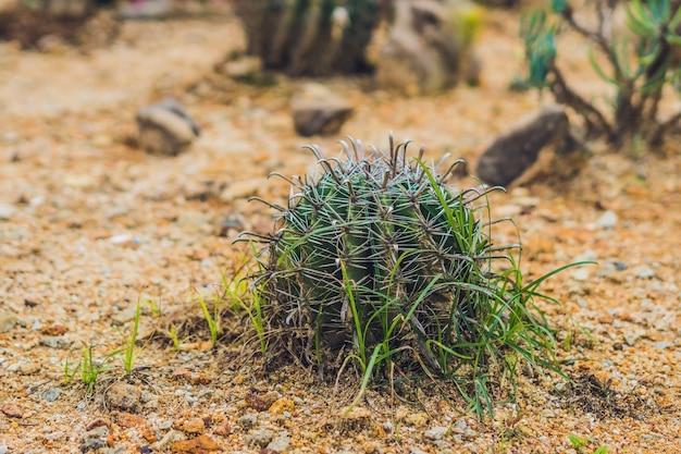 Grote ronde cactus in een tropisch park Premium Foto