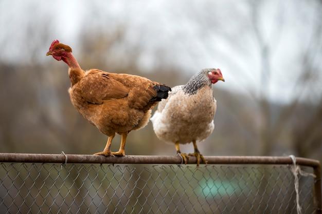 Grote roodbruine kippen die in openlucht op draadomheining zitten op heldere zonnige dag op de vage kleurrijke ruimte van het de zomerexemplaar. landbouw van de productie van gevogelte, kippenvlees en eieren, gezond voedselconcept.