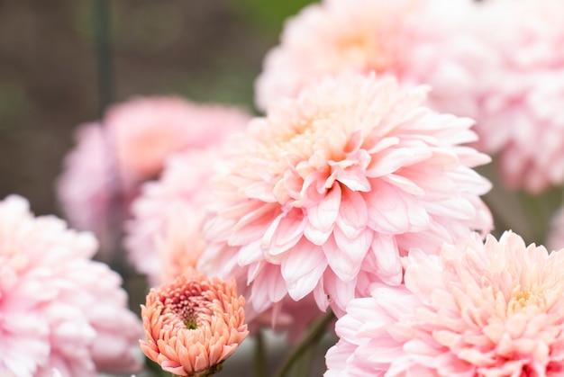 Grote roze chrysanten in de tuin in de herfst