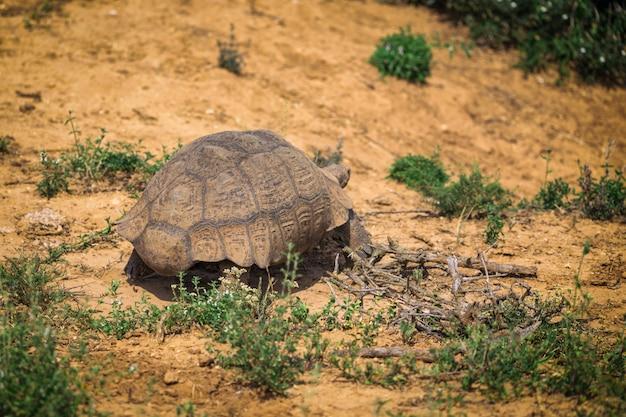 Grote schildpad die in het nationale park van addo, zuid-afrika loopt