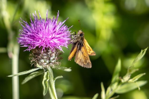 Grote schippervlinder (ochlodes venatus) die zich voedt met een bloem in de zomerzon
