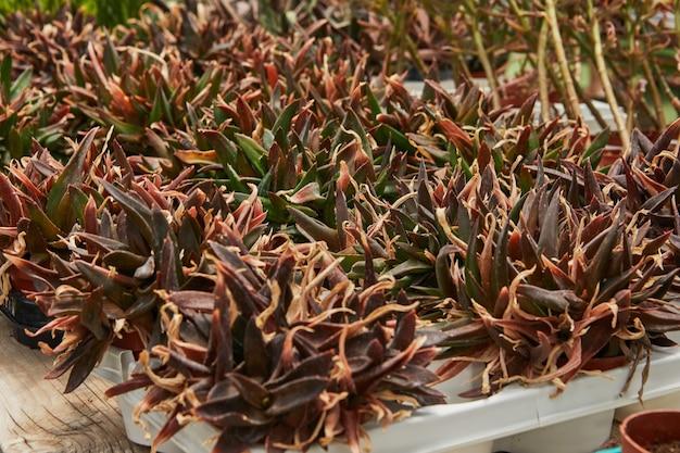 Grote selectie van groene en paarse vetplanten in potten.