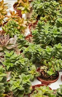Grote selectie van groene vetplanten in potten.