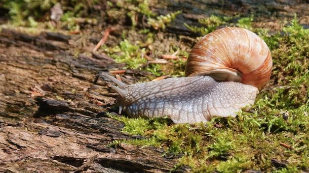 Grote slak die op een boom met mos kruipt