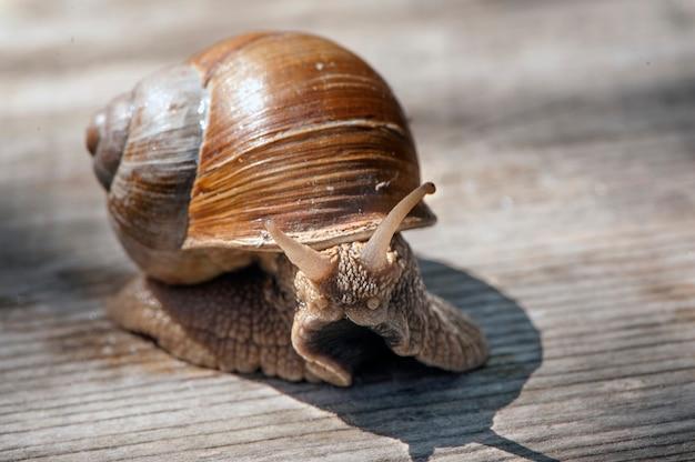Grote slak in shell kruipen op planken, zomerdag, selectieve aandacht
