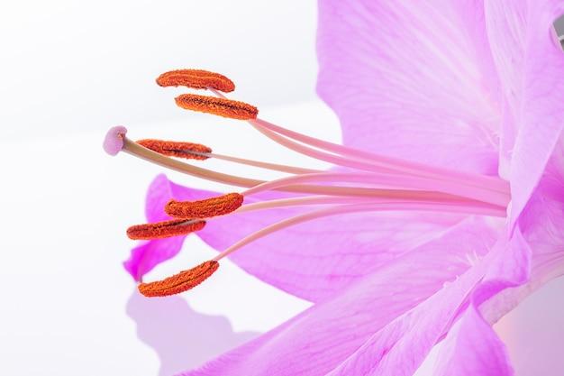 Grote stamper en meeldraden van bloeiende leliebloem in macro op witte achtergrond