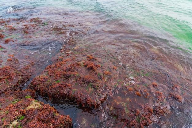 Grote steen met rood zeewier
