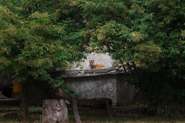Grote sumatraanse tijger die onder de bomen in de dierentuin legt
