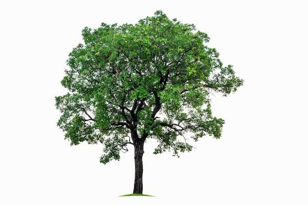 Grote tropische boom geïsoleerd op een witte achtergrond. bestand bevat met uitknippad zo gemakkelijk om te werken.