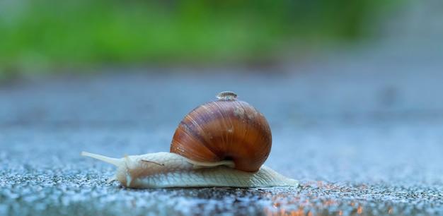 Grote tuinslak op het asfalt met pissebedden op shell.