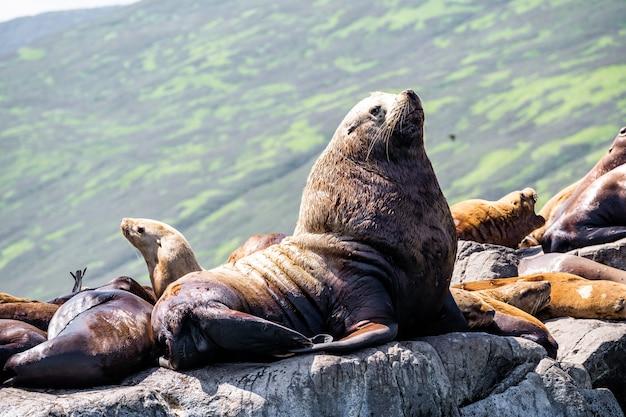 Grote vette walrus in profiel op stenen rotsen buiten achtergrond.