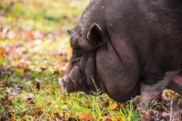 Grote vietnamese zwarte varken close-up profiel portret op de boerderij