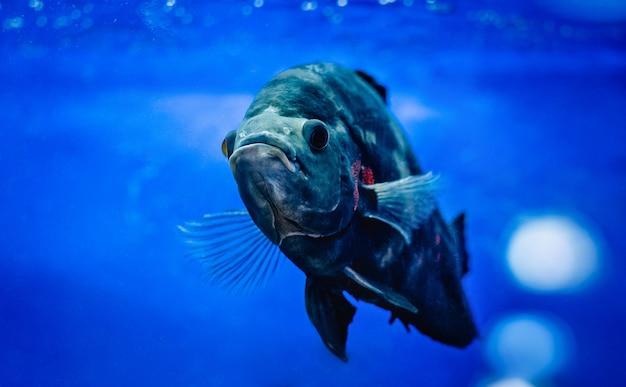 Grote vissen die in aquarium zwemmen