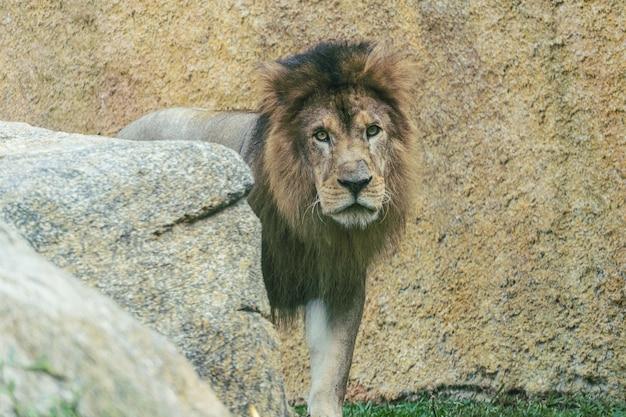 Grote volwassen leeuw, de grootste van de katten, in een biopark.