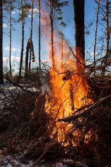 Grote vreugdevuren of kampvuur branden in het winter forest op zonnige dag. vuur in de natuur.