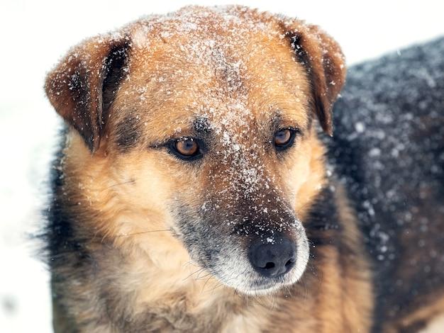 Grote waakhond met een nauwe blik in de winter bedekt met sneeuw, portret van een hond