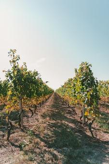 Grote wijngaard onder de mooie heldere hemel op een zonnige dag