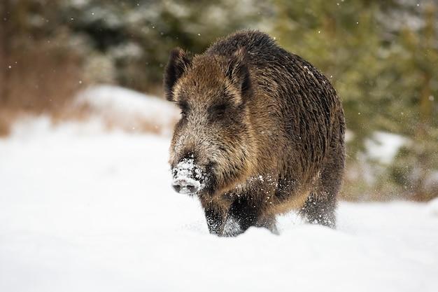 Grote wilde zwijnen die door diepe sneeuw in de winter waden met vallende sneeuwvlokken
