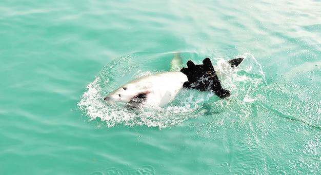 Grote witte haai die het zeeoppervlak doorbreekt om kunstaas te vangen