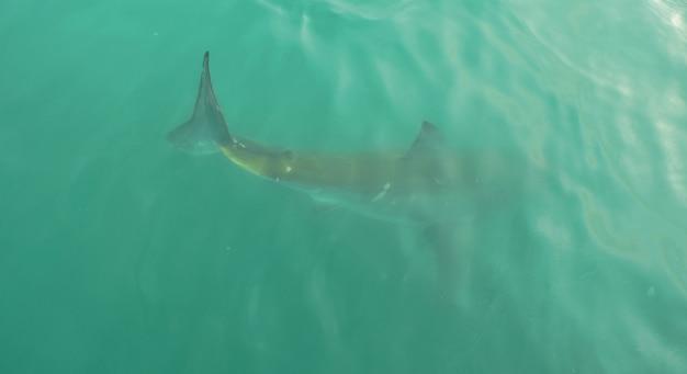 Grote witte haai in open water, dicht bij het wateroppervlak, in gansbaai zuid-afrika.